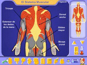 El sistema muscular, el aparato locomotor del cuerpo humano - juegos interactivos Pipo