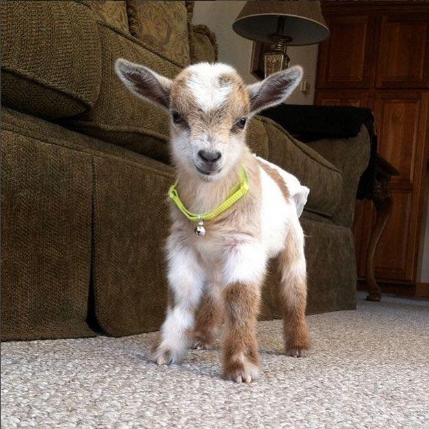 Niedliche Babyziegen auf Instagram #GoatLoversAnonymous – Homestead Pets