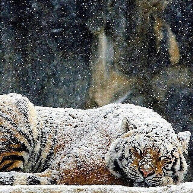 Regram @WildlifePlanet Siberian Tiger   Photography by © Ryu Jong soung #naturegeography