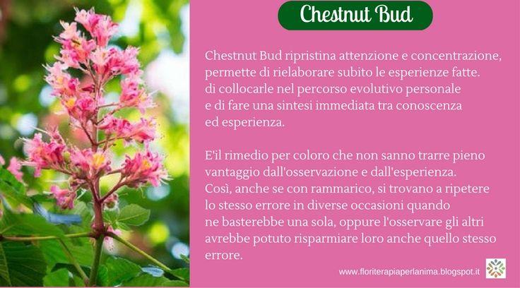 Chestnut Bud, il fiore dell'attenzione, della concentrazione e dell'apprendimento.