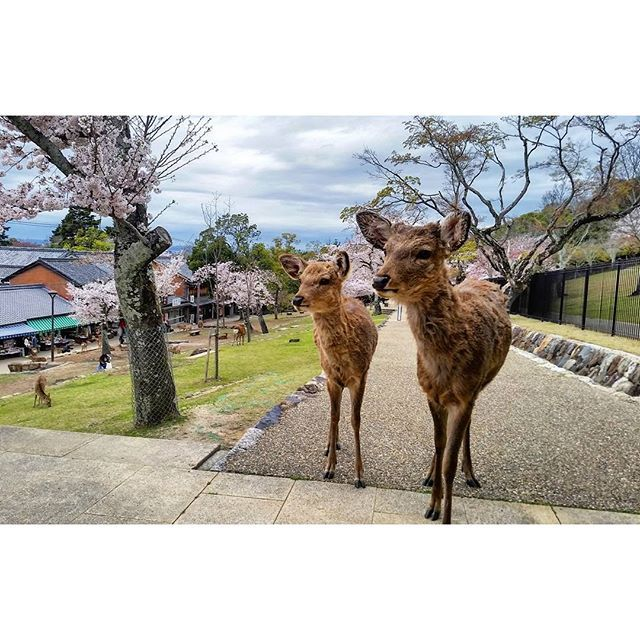 【fsqx】さんのInstagramをピンしています。 《奈良公園 Nara Park, Japan.  #奈良 #nara #日本 #japan #ig_japan #igersjp #instagramjapan #花見 #桜 #cherryblossom #cherryblossoms #鹿 #deer #doe #animal #animals #animallovers #animalsofinstagram #wildlife #wildlifephotography #wildlifeplanet #park #parks #公園 #travelling #instapassport #igtravel #travelphotography #tourism #mytravelgram》
