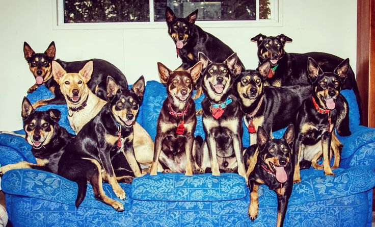 Kelpies on couches unite.  Dawsonriver kelpies in support of the #letalfieon the couch movement 😂. Disclaimer... This is the couch out in our pool shed.  I value my marriage too much to have them all in the house... @reggiekelpie @fimorley5