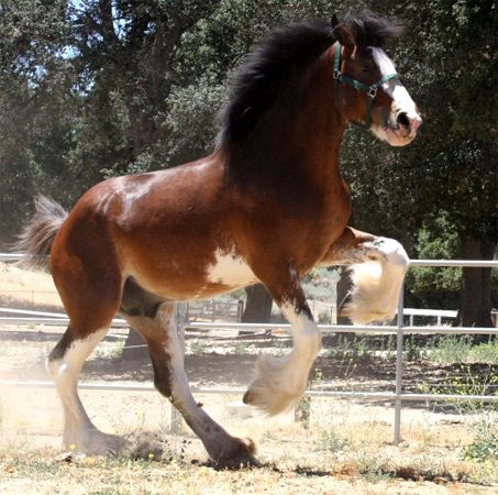 Show Horse Gallery - Willow Way Firestone, Clydesdale