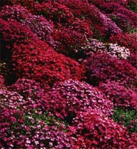 50 aubrieta rock cress bright red perennial flower seeds for Perennial ground cover plants for sun