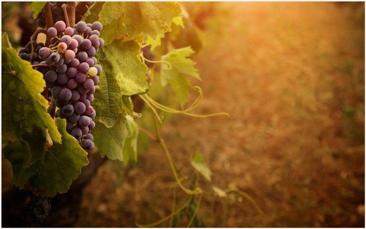 Wine Grapes Wallpaper | wine and grapes wallpaper, wine bottle grapes wallpaper border, wine grapes wallpaper border