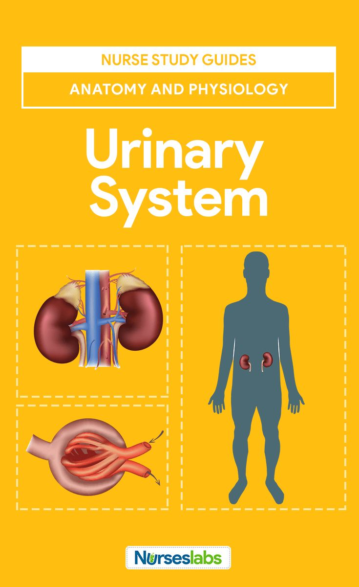 Urinary system study tools