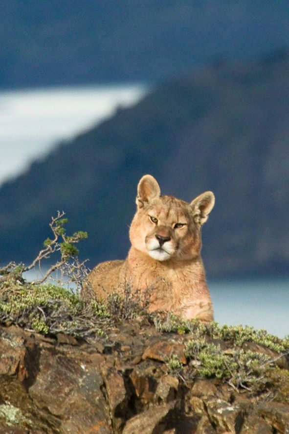 Puma in Torres del Paine. Photo by our professional photographer & wildlife guide Diego Araya #Chile #Patagonia #Adventuretravel #wildlife #animals