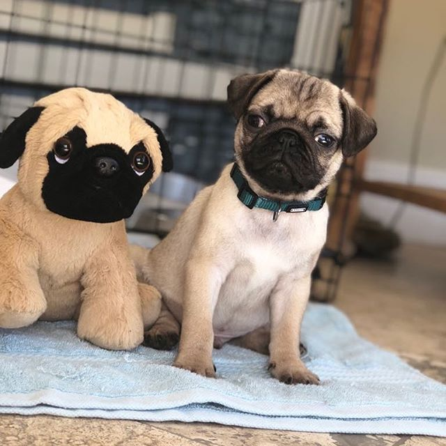 Spot The Difference Pug Pugsofinstagram Pugs Pugpuppy
