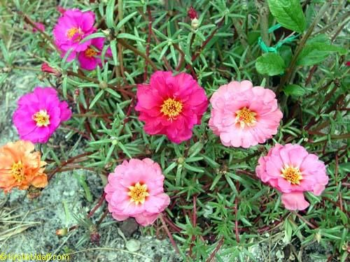 Simple Rose Garden: 17 Best Images About Moss Rose, Portulaca On Pinterest