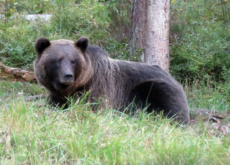 Bärenbeobachtung in Alutaguse, Estland