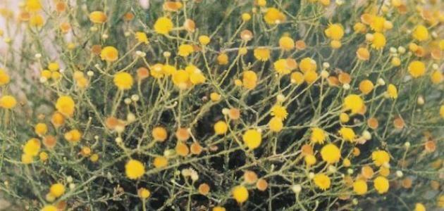 عشبة الحزا إن عشبة الحزا أو كما تسمى علميا Haplophyllum Tuberculatum هي واحدة من أهم أنواع النباتات العشبية الطبيعي ة التي تنتشر Plants Pumpkin Patch Outdoor