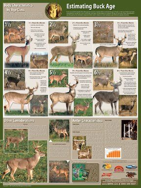 Selective Buck Harvest Poster - great to keep up near your camp to teach deer aging.
