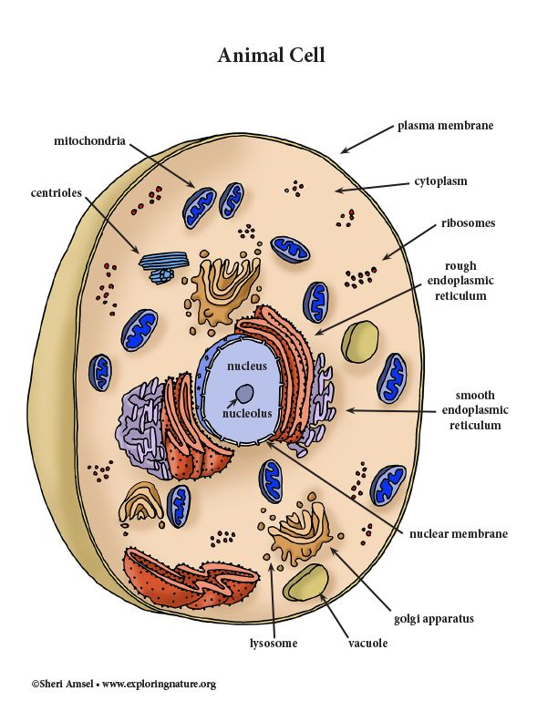Animal Cell - Color Diagram | Animal cell, Nuclear ...