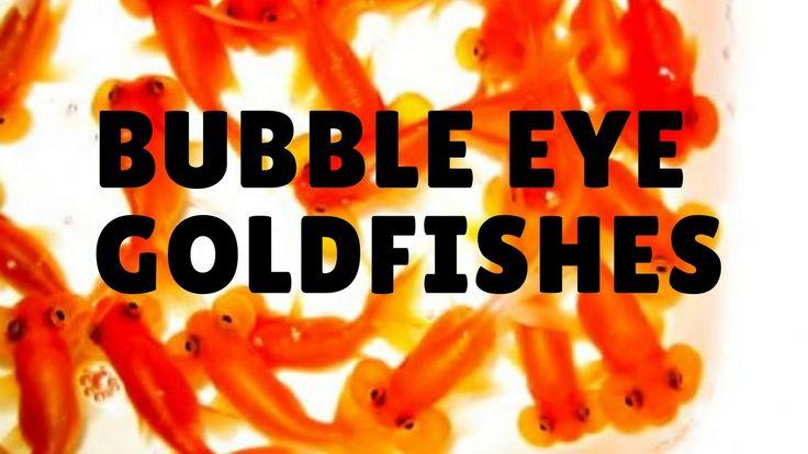 Bubble eye goldfishes