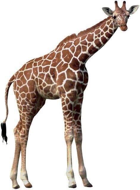 Adopt A Giraffe from World Animal Foundation