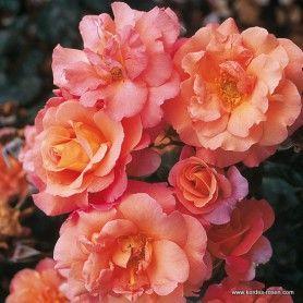 17 best images about roses shrub on pinterest drums. Black Bedroom Furniture Sets. Home Design Ideas