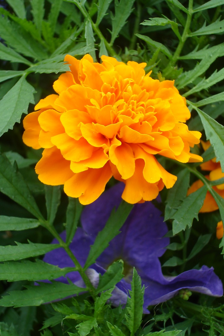 The Marigold Tarot Major Arcana The: 30 Best Images About Marigold On Pinterest