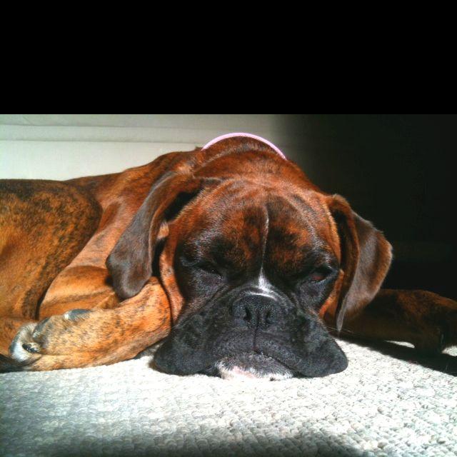 #boxer #dog smooshy flub.