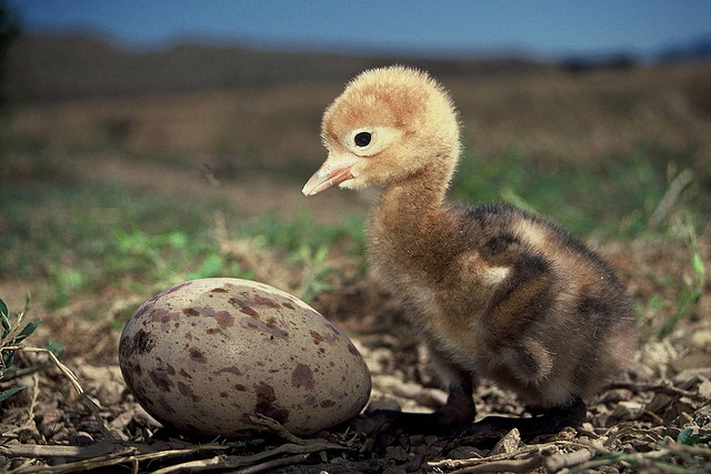 Blue Crane Chick - Overberg, South Africa by South African Tourism, via Flickr