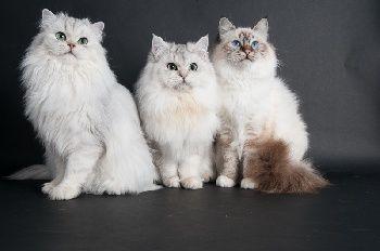 Elevage De Mamishat - eleveur de chats Sacré de Birmanie