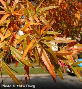 Willow Oak (Quercus phellos) - For the back yard. Leaves shrivel up and blow away, does get acorns though