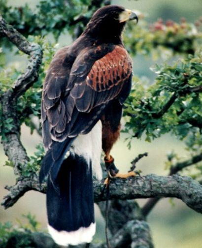 Aves de Rapina  ou rapinantes