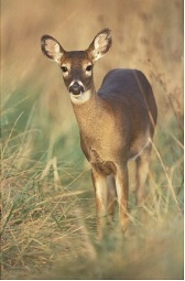 keeping deer away: planting the right plants in the right places can help keep deer at bay. Include sage, yarrow, oregano, lemon balm, rosemary, peppermint, and black-eyed Susan. deer find their food by smell; these plants have a strong odor that deer don't like, and they cover up the smell of garden plants deer like to eat. Keeping them out of your yard can help keep ticks out as well.