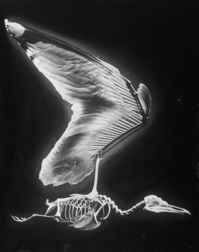 Andreas Feininger, skeletal structure of a bird, 1951 | Lovely Bones: The Art of Evolution | LIFE.com