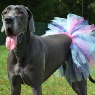 Apparently I'm not the only one that puts their great dane in tutus!
