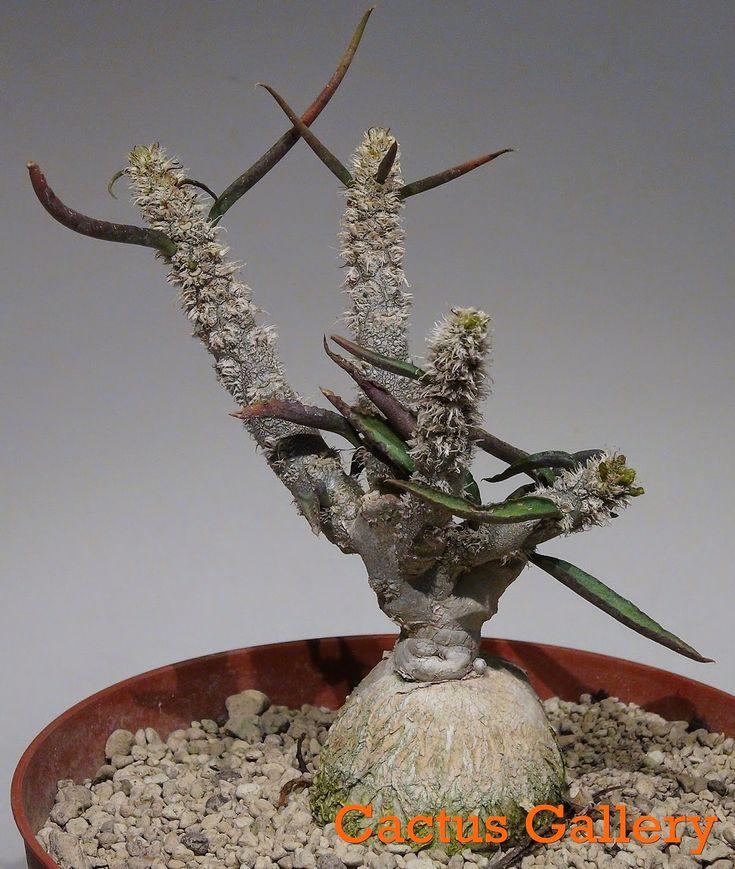Euphorbia waringiae Cactus Gallery