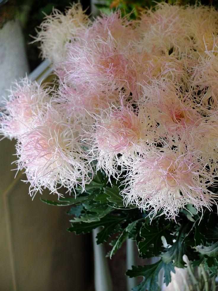 Japanese chrysanthemum Hakuro-shigure