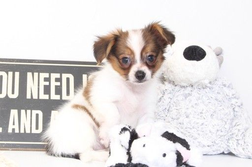 Papillon puppy for sale in NAPLES, FL. ADN-33780 on PuppyFinder.com Gender: Male. Age: 8 Weeks Old