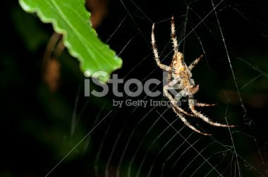 Spider hanging dowm from the middle of its web Royalty Free Stock Photo