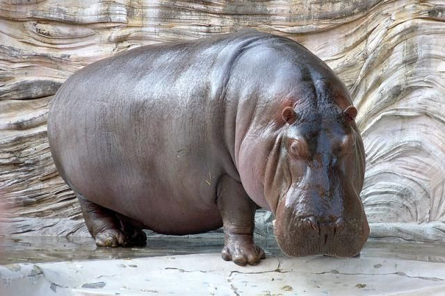 Do Hippos Sweat Blood? #science #nature #animals #chemistry