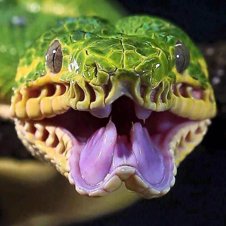 Emerald Tree Boa, lowland tropical South America