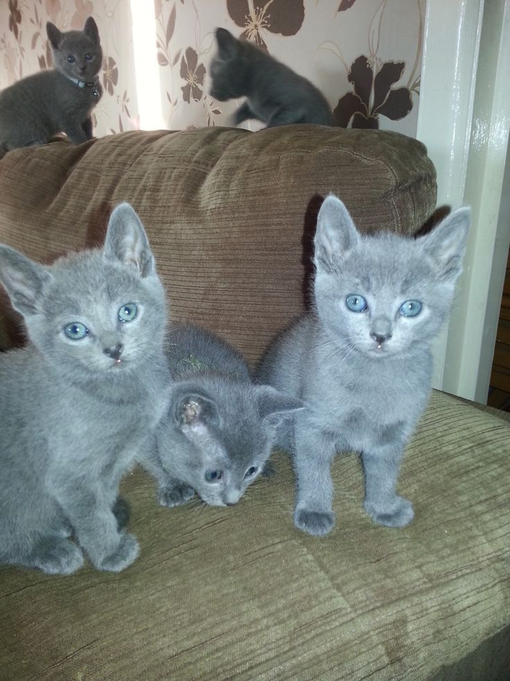 Regal Russians Betty aged seven weeks. Our new Russian Blue kitten, coming soon.