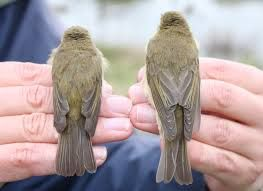 Image result for willow warbler bird