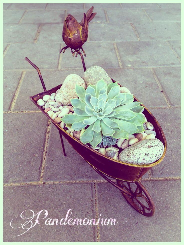 The little watch bird. Echeveria