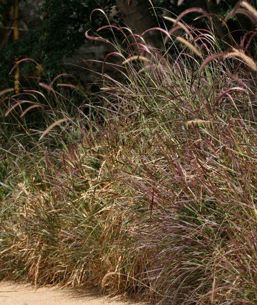 Purple Fountain Grass (Pennisetum setaceum) in Hyderabad, AP W IMG 7795 - Pennisetum setaceum - Wikipedia