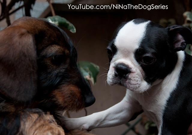 My #bestfriend: Dafne!    #NiNa #thedogseries #boston #terrier #puppy #pets   --> See more video on www.youtube.com/NiNaTheDogSeries  --> See more photos on   www.facebook.com/NiNaTheDogSeries