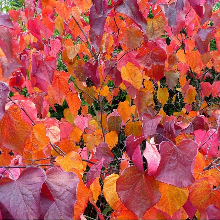 The tree I most want to own one day - Cercis Canadensis Forest Pansy.  There was one in my college garden and I still have some fiery pressed leaves from it.