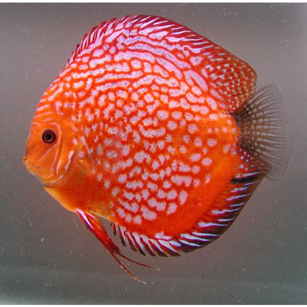 Discus Pigeon blood rouges 6-7 cm Le lot de 2