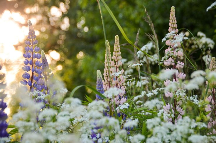 Sommarblommor Dalarna | Sommerblumen, Schweden | Summer florera, Sweden