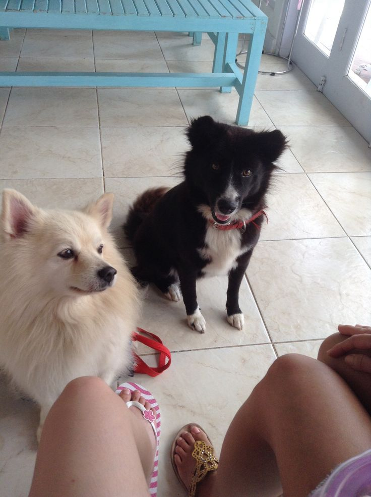 American Eskimo dog and black kintamani dog