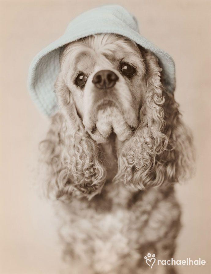 Doobie (American Cocker Spaniel) - The secret to being irresistibly cute, Doobie keeps under his hat.