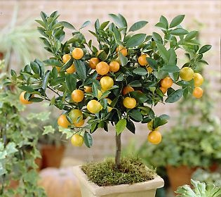 8 best kitchen lemon tree ideas images on Pinterest Lemon