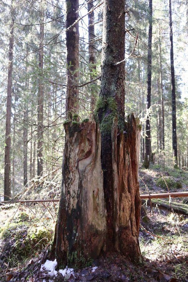 Kannosta kasvava puu