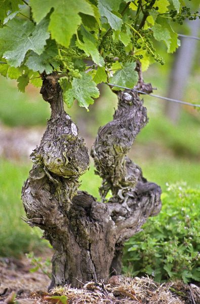 A very old vine in the Clos de lEcho vineyard of Couly Dutheil in Chinon, Indre et Loire, France.  Photo: Danita Delimont