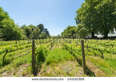 http://www.shutterstock.com/pic-245181988 Constantia Grape Wineland Countryside Landscape Background Of Hills With Mountain Backdrop In Cape Town South Africa Stock Photo 245181988 : Shutterstock