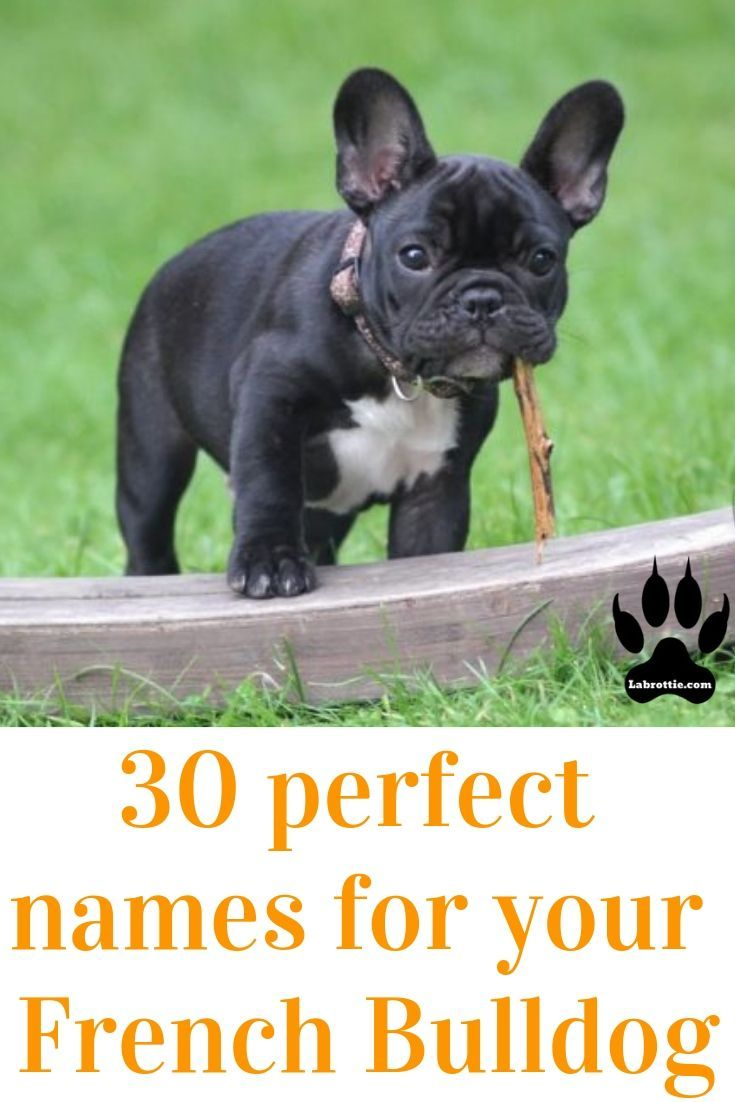 Pin On French Bulldog Tips